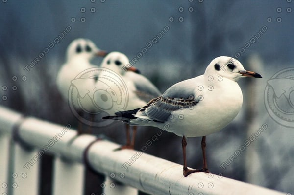 gull1thumb.jpg