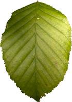 leaf14