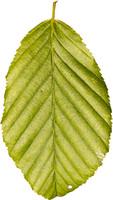leaf22