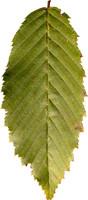 leaf29