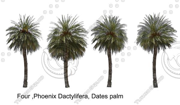 phoenix-dactylifera-tgpjpg.jpg