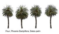 4 Phoenix dactylifera