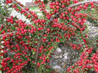 red berries7