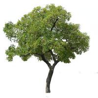 shea nutt tree