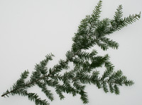 tree_branch_hemlock