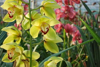 Flowers_Orchid_0008