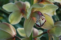 Flowers_Orchid_0006