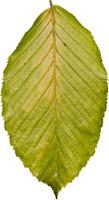 leaf20