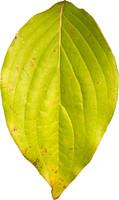 leaf25