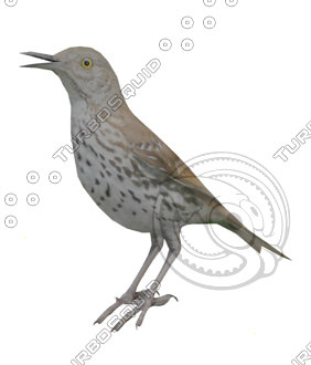 Bird_Brown_Thrasher_LP_No_Wings.jpg
