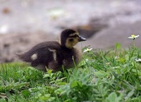 Young duck