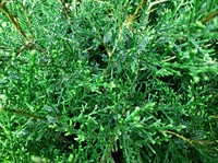 Evergreen Shrub
