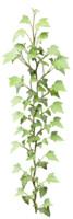 Ivy textures 02