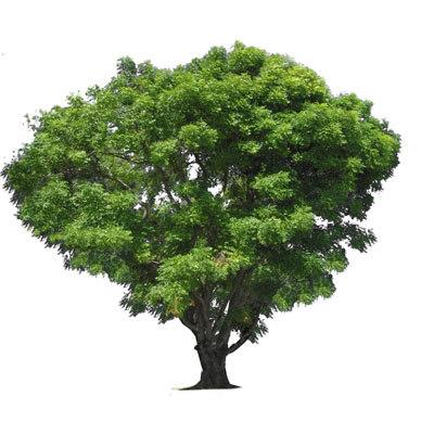 neem-tree-400px.jpg