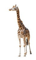 Giraffe against a white background
