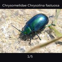 chrysomelidae Chrysolina fastuosa