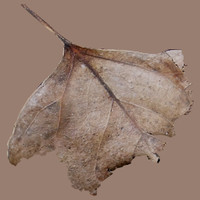 Five dry autumn leaves