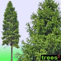 Fir (Abies) Tree