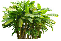 banana musa tree