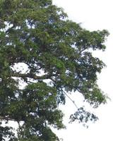 Alstonia scholaris tree