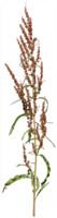 Wildness Plant, Rumex