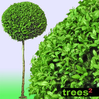 Boxwood Tree Buxus