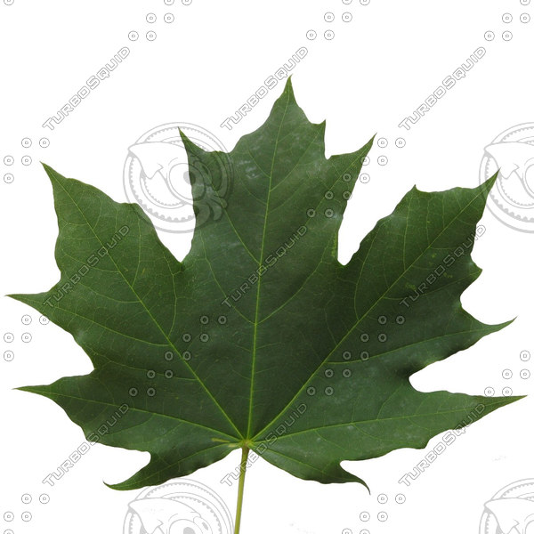 maple leaf.jpg