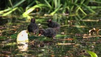 Common moorhen hatchlings