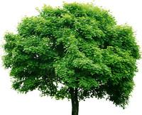 Tree 00 Texture