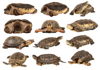 Tartarughe (Turtle)