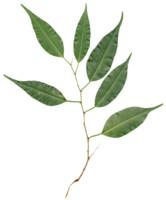 Leaves Branch