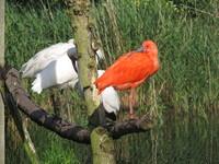 scarlet ibis3