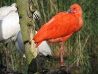 scarlet ibis5