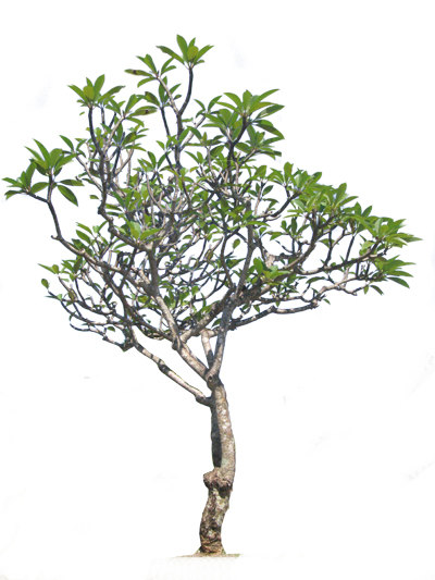 frangipani-no flower-400x533.jpg