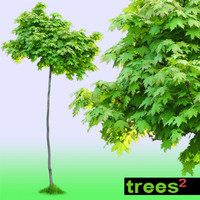 Maple Tree Acer Globosum