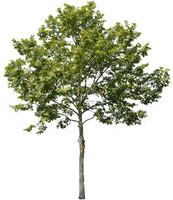 Plane Tree 02