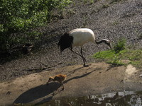 red-crowned crane2
