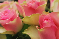 Flowers_Rose_0006