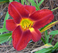 Day Lily2
