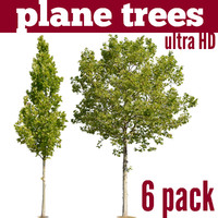Plane Trees - 6 pack