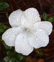 wet azalea flower