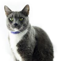 Grey Cat 001