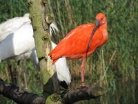 scarlet ibis4