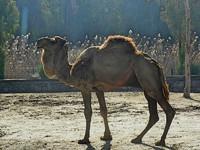 Camel Reference Pictures for 3D Modellers