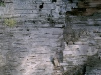 birch bark1