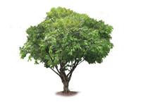 cynometra cauliflor, nam nam fruit tree