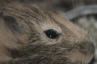 Detail of guinea-pig head