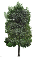 Young mangosten tree, garcinia mangostena