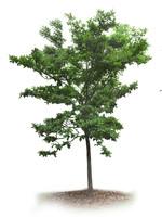 Nyatoh tree, Palaquim Obovatum