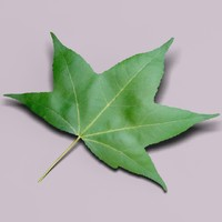 3ds american sweetgum liquidambar tree